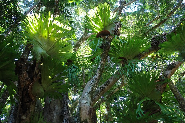 Staghorn and Elkhorn tree fern canopy - Fraser Island